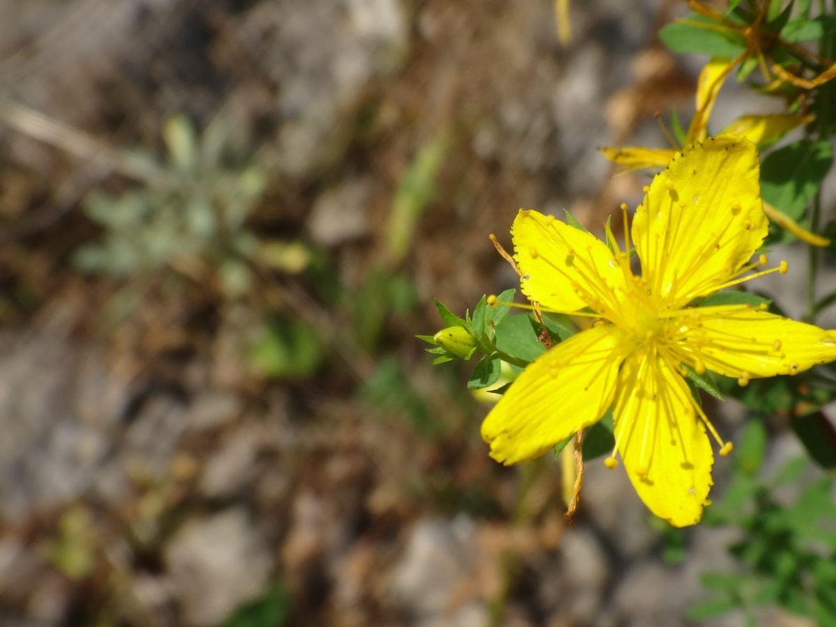 Millepertuis plante solaire herbe aux fées